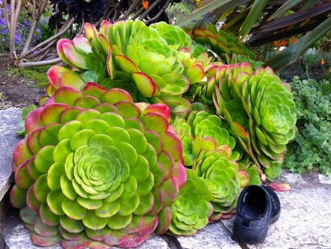 Carmel has succulents bigger than my shoe - and my head!