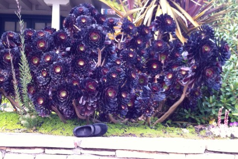 More bigger than my shoe succulents in Carmel