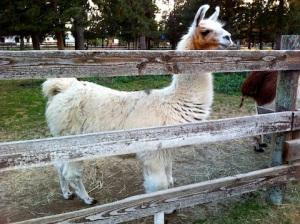 Ponderosa Lodge Llama A