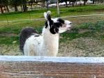 Ponderosa Lodge Llama